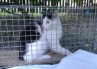 Dzięki oznaczeniu - przez przycięcie uszka - kot uniknął niepotrzebnej podróży do Ośrodka i ewentualnej niepotrzebnej narkozy. Został od razu wypuszczony.
