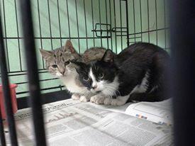 Aby zmieścić w kotowozie 5 kotów, trzeba było 2 koteczki umieścić w jednej klatce-łapce. Później obie weszły z niej do jednej klatki. Niestety, trzeba było je rozdzielić.